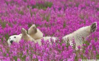 polar bear flowers