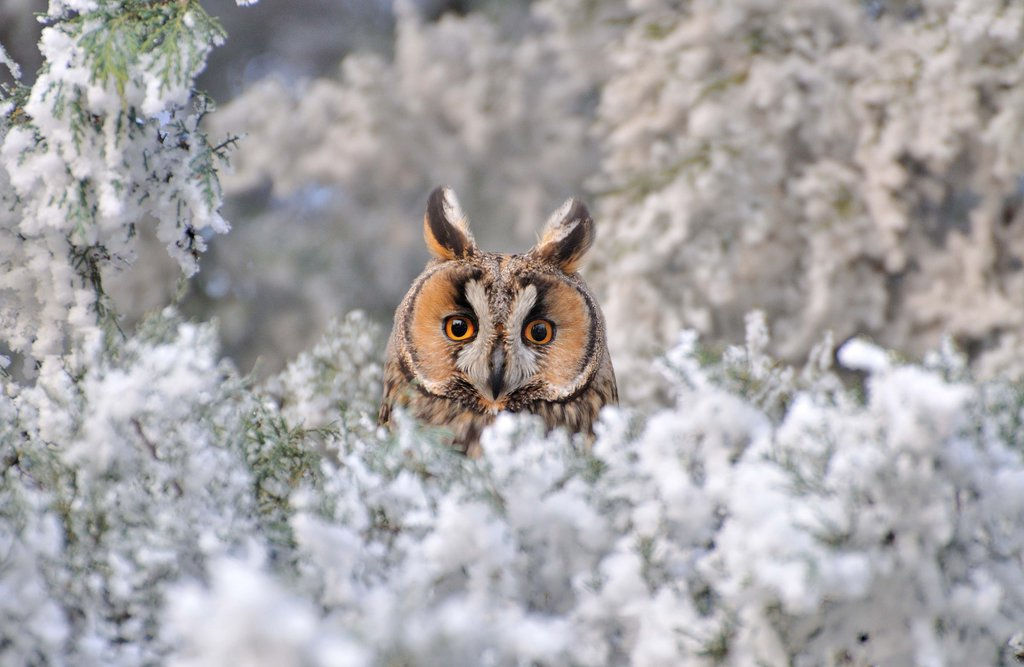 Great Horned in Snow