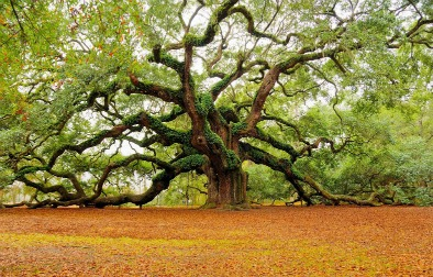 Grand real angel oak tree